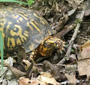 Found this little Terrapin in Ohio...still no morels!